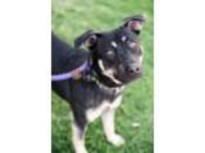 Adopt Cous Cous a German Shepherd Dog / Beagle / Mixed dog in San Diego