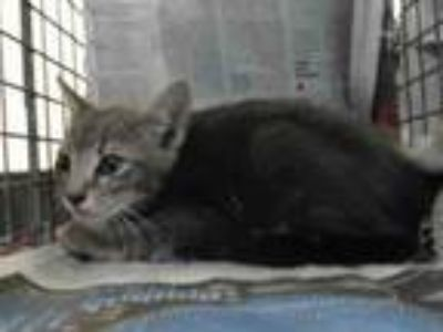 Adopt A5290525 a Domestic Short Hair