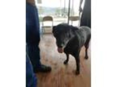 Adopt Persephone a Black Labrador Retriever / Mixed dog in Santa Paula