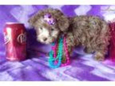 Miss Penelope The Toy Poodle!!