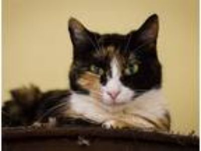 Adopt Ramen a Domestic Shorthair / Mixed cat in Charlottesville, VA (23009206)