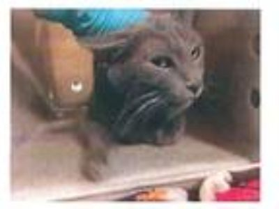 Adopt Clarah a Domestic Shorthair / Mixed (short coat) cat in Hemet