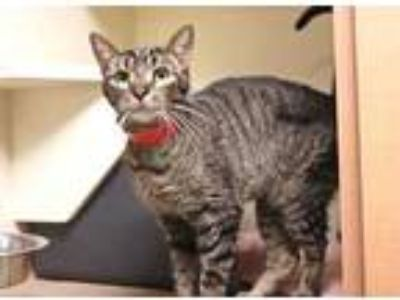 Adopt Willow a Brown or Chocolate Domestic Shorthair / Domestic Shorthair /