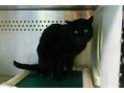 Adopt WEEZY a All Black Domestic Shorthair / Mixed (short coat) cat in