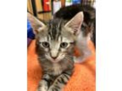 Adopt Cyrano a Brown Tabby Domestic Mediumhair (medium coat) cat in Wilmington