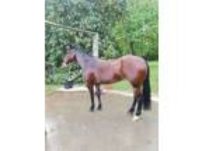 7 Year Old Reining Mare Cromed Out Mercedes x Starry Future