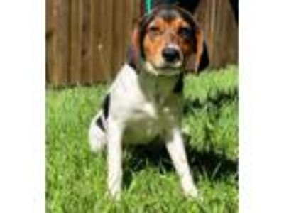 Adopt Phoenix a Beagle / Mixed dog in Denton, TX (25347709)