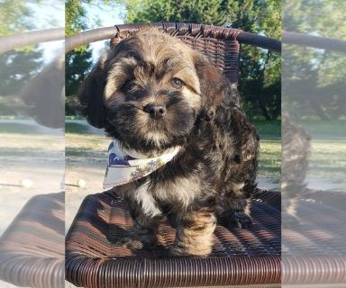 Havashu PUPPY FOR SALE ADN-128853 - Adorable Havanese X Shih Tzu  Puppies