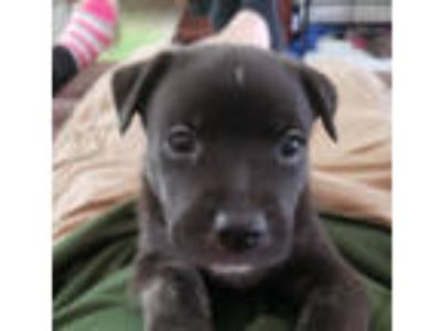 Adopt Black Cherry - local pup a Boxer