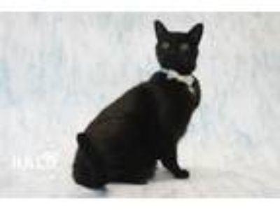 Adopt Quin a Domestic Short Hair