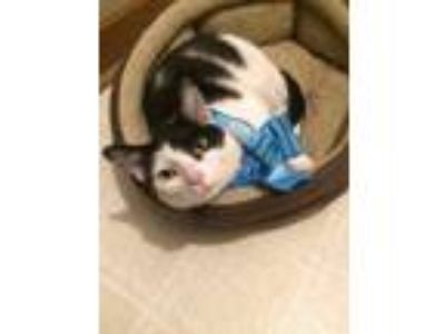Adopt Apache a Domestic Short Hair