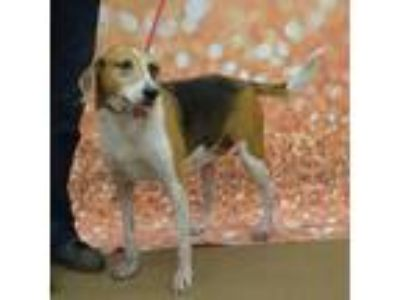 "Adopt Daisy Em Society ""cat and dog friendly, gentle"" a Treeing Walker"