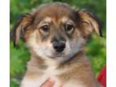 Adopt Holly-Available at Wagsmore 6/2! www.lhar.dog to apply a Shepherd