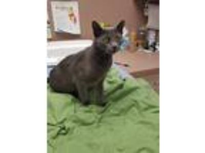 Adopt Arya a Gray or Blue Russian Blue (short coat) cat in Bonita Springs