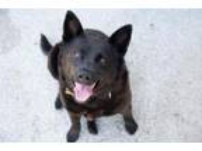Adopt Biscuit the Ballerina a Collie, Chow Chow