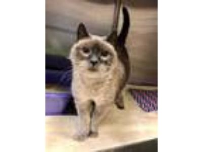 Adopt Harley a Gray or Blue Siamese / Domestic Shorthair / Mixed cat in Redmond