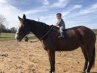 All around aqha gelding