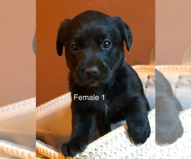 Labrador Retriever PUPPY FOR SALE ADN-131132 - Pure lab pups with papers