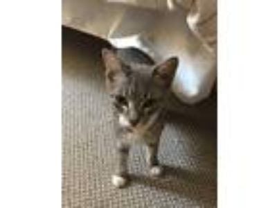 Adopt Olive a Gray, Blue or Silver Tabby American Shorthair cat in Arlington
