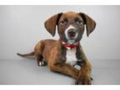 Adopt Rizzi a Pointer, Mixed Breed