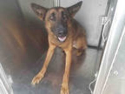 Adopt ACE a Brown/Chocolate - with Black German Shepherd Dog / Mixed dog in