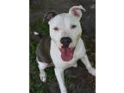 Adopt 10319851 CHANCE a Pit Bull Terrier