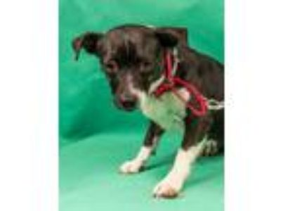 Adopt Trixie a Black - with White Terrier (Unknown Type, Medium) / Mixed dog in