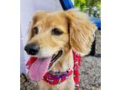 Adopt Lala a Cocker Spaniel / Mixed Breed (Medium) / Mixed dog in Fort Myers