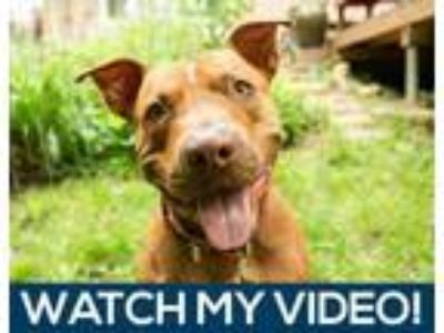 Adopt Beaches a Brindle American Pit Bull Terrier / Mixed dog in Mission