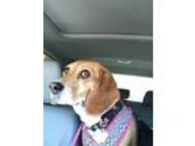 Adopt Dolly a Beagle
