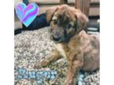 Adopt Ruger a Brindle - with White Dutch Shepherd / Plott Hound / Mixed dog in