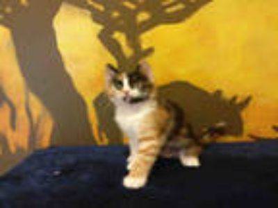 Adopt AMBER a Black (Mostly) Domestic Shorthair / Mixed (short coat) cat in
