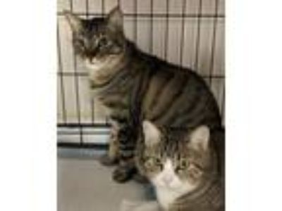 Adopt Bo and Athena a Brown Tabby Domestic Shorthair (short coat) cat in