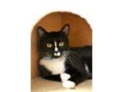 Adopt Link a Domestic Shorthair / Mixed cat in Delaware, OH (25323667)