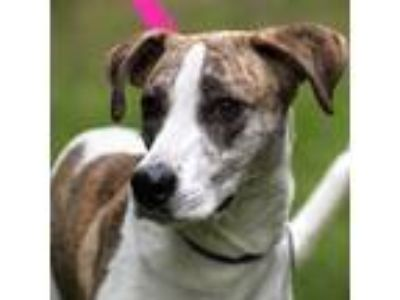 Adopt Kamea a Hound (Unknown Type) / Whippet / Mixed dog in Silverdale