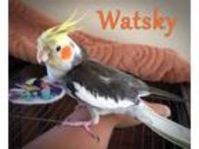 Adopt Yogurt and Watsky a Gray Cockatiel bird in Tampa, FL (22779237)