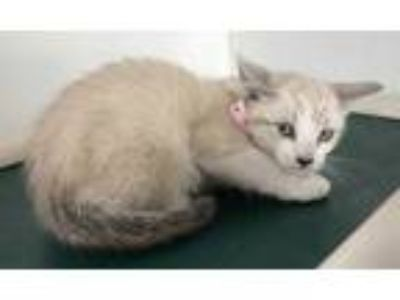 Adopt a White (Mostly) Siamese / Mixed (short coat) cat in Visalia