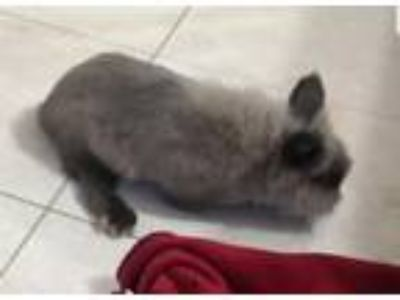 Adopt Nimbus (pending) a Lionhead / Mixed (long coat) rabbit in Baton Rouge