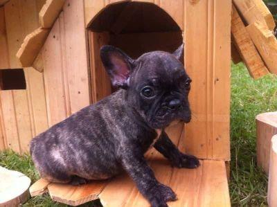 French Bulldog PUPPY FOR SALE ADN-89603 - Beautiful and adorable French Bulldog 1650