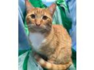 Adopt Jinxy a Orange or Red (Mostly) Domestic Shorthair / Mixed (short coat) cat