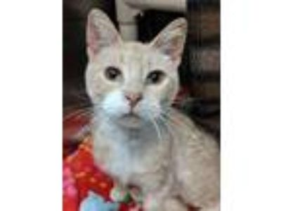 Adopt Indie a Domestic Short Hair, Tiger