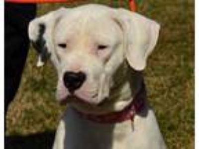 Adopt White Lightning a White American Staffordshire Terrier / Mixed dog in