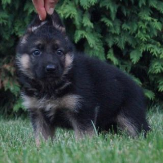 German Shepherd Dog PUPPY FOR SALE ADN-89381 - Amazing AKC German  Shepherd Puppies