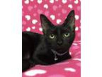 Adopt Camry a Domestic Short Hair