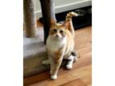 Adopt Rocky a Orange or Red Tabby Domestic Shorthair (short coat) cat in