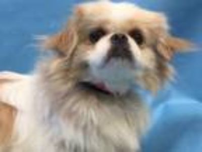 Adopt Autumn a Pekingese, Mixed Breed