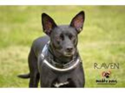 Adopt Raven a Black - with White Labrador Retriever dog in Council Bluffs
