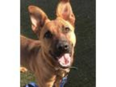 Adopt Cora a Shepherd (Unknown Type) / Mixed dog in Ledgewood, NJ (25309943)