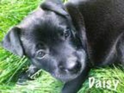 Adopt Daisy a Black - with Gray or Silver German Shepherd Dog / Terrier (Unknown