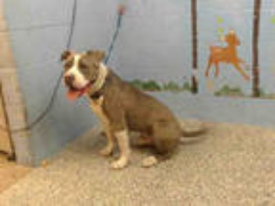 Adopt MAJOR a Gray/Silver/Salt & Pepper - with White American Pit Bull Terrier /